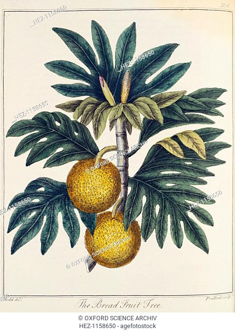 Breadfuit (Artocarpus incisus), c1798. A tree with fruit with white pulp like new bread, it was introduced into the West Indies as an important food crop for...