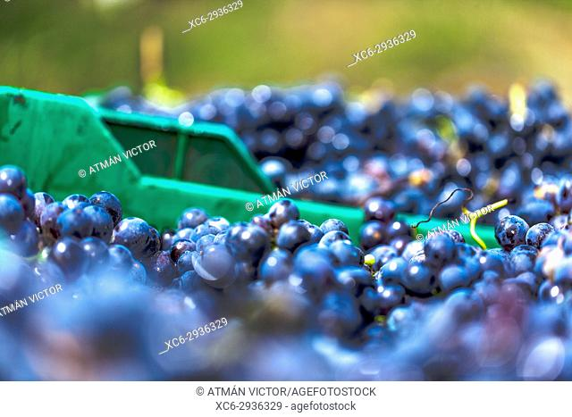 macro detail of black grape clusters piled up in a basket