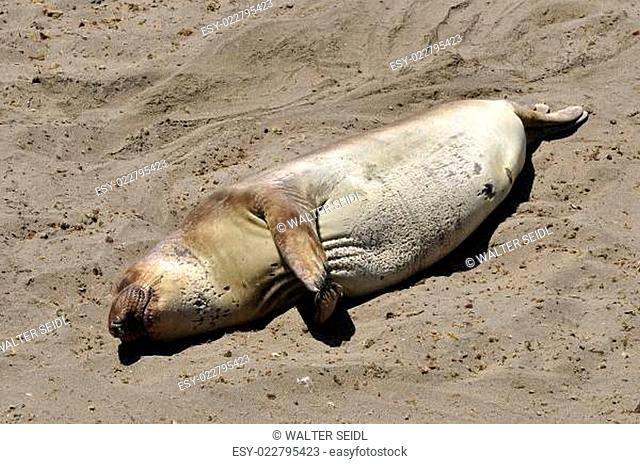 Seeelefanten-Kolonie 4 Meilen nördlich von San Simeon