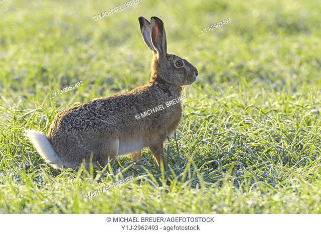 European brown hare (Lepus europaeus) in springtime, Hesse, Germany, Europe