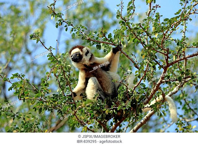 Verreaux's Sifaka (Propithecus verreauxi), adult, in a tree, Berenty Game Reserve, Madagascar