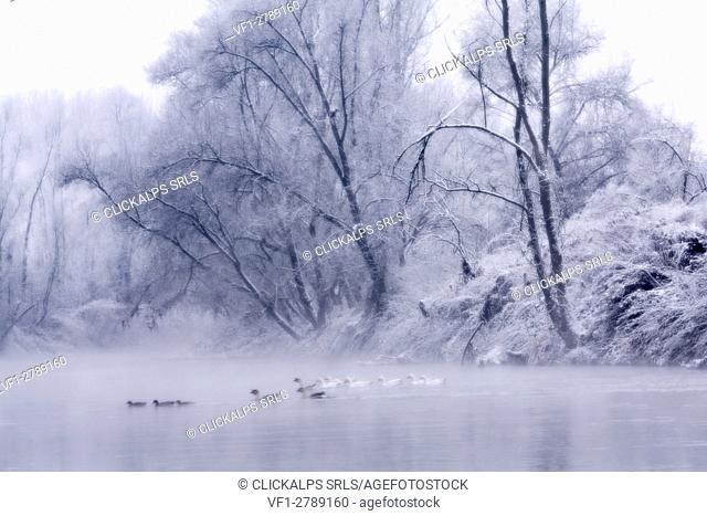 Plain Piedmont, Piedmont, Italy. Hoar frost trees on the Po river