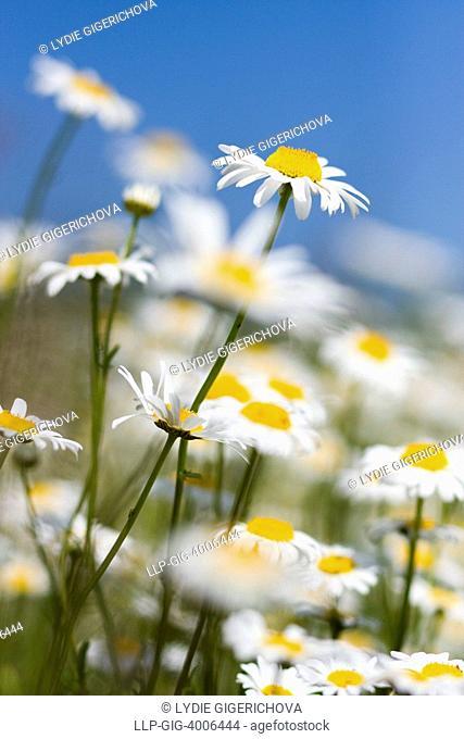 Oxeye Daisies Leucanthemum vulgare, Chrysanthemum leucanthemum, Leucanthemum leucanthemum, Vyzkum hill, Bile Karpaty, White Carpathian Mountains