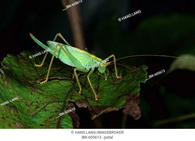 Drumming Katydid or Oak Bush-Cricket (Meconema thalassinum), species from the Tettigoniidae order of Katydids or Bush-crickets