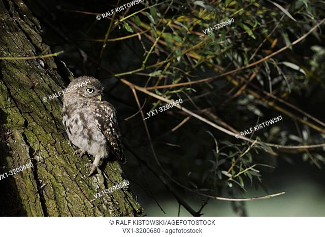 Cute Little Owl / Minervas Owl (Athene noctua) sits at a trunk of an old willow tree in first sunlight, looks attentively back, wildlife, Europe