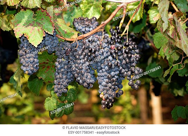 Lambrusco ripened grapes hanging in a vineyard in Salento region, South East Italy