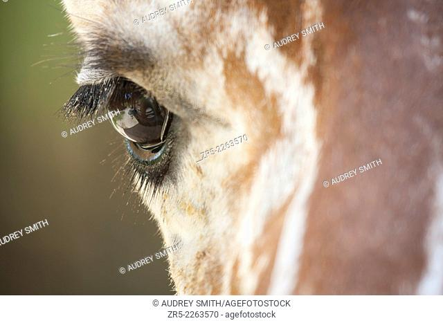 Close-up of a giraffe's eye; captive; Florida, USA. A giraffe's long eyelashes protect the eye from sand, debris, and insects