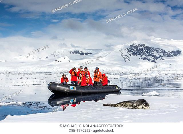 Adult leopard seal (Hydrurga leptonyx) on ice floe with Lindblad Expedition guests in the Enterprise Islands near the Antarctic Peninsula, Southern Ocean