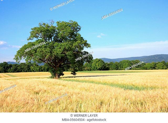 Walnut tree in summer, Juglans regia