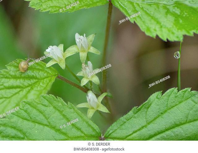 Stone bramble, Roebuck-berry (Rubus saxatilis), blooming, Germany, Bavaria, Oberbayern, Upper Bavaria