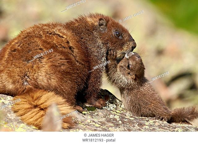 Young yellow-bellied marmot (yellowbelly marmot) (Marmota flaviventris) adult and young, San Juan National Forest, Colorado, United States of America