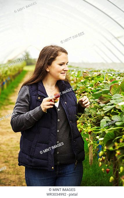 A woman with a handful of strawberry berries walking down the row of soft fruiting plants in a polytunnel