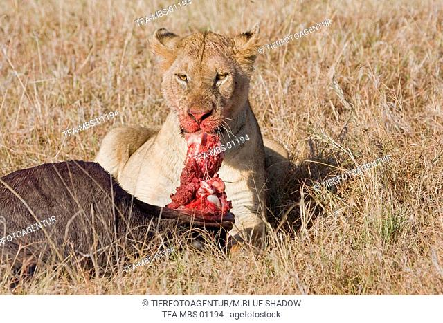 eating lion