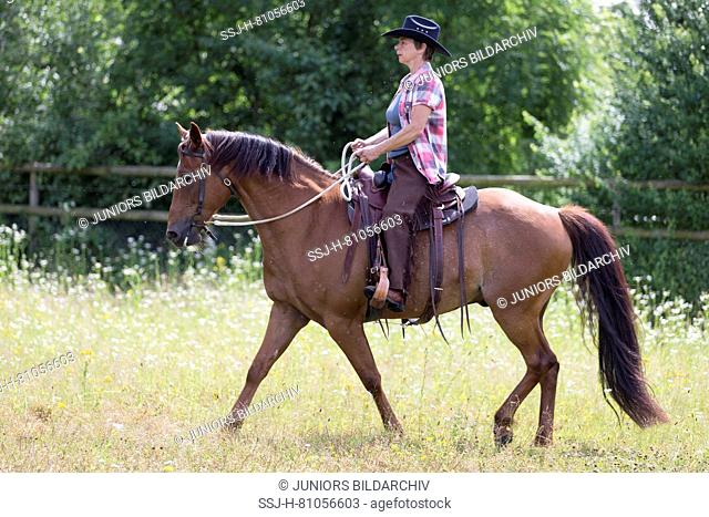 Missouri Foxtrotter. Rider on chestnut mare on a pasture. Switzerland