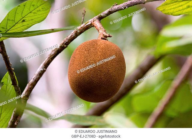 Fruit of the Cupuaçu, Cocoa-cupuaçu, Manaus, Amazonas, Brazil