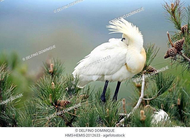 France, Somme, Baie de Somme, Saint Quentin en Tourmont, Marquenterre Park, Spoonbill (Platalea leucorodia), a couple of nesting birds on top of a pine tree