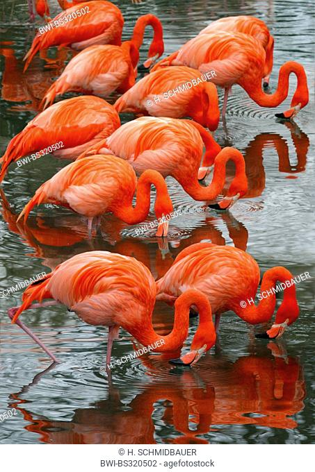 Greater flamingo, American flamingo, Caribbean Flamingo (Phoenicopterus ruber ruber), standing in water feeding