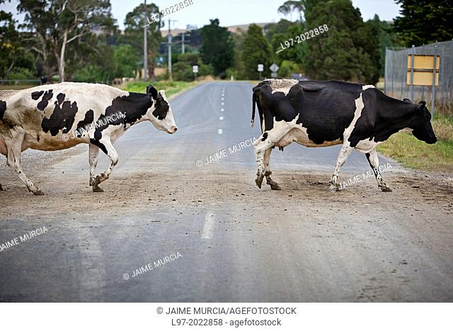 Holstein dairy cows crossing a country road after milking, early morning country vVictoria Australia