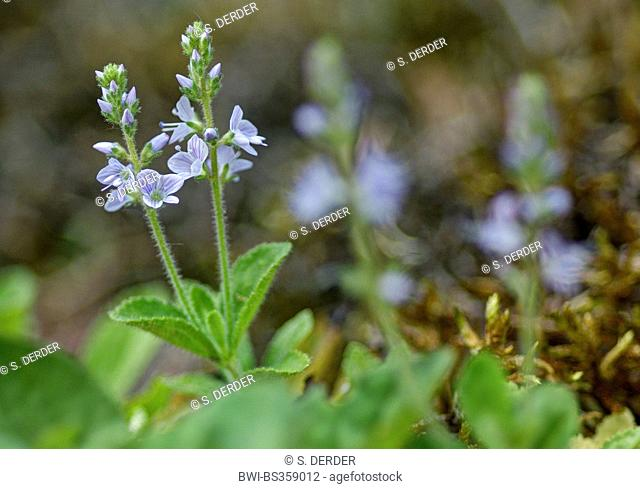 Common speedwell, Heath speedwell, Gypsy-weed (Veronica officinalis), blooming, Italy, South Tyrol, Dolomiten