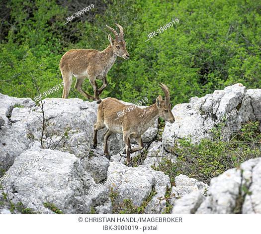 Spanish Ibexes (Capra pyrenaica hispanica), El Torcal Nature Reserve, Antequera, Andalusia, Spain