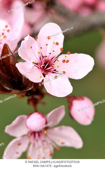 Cherry flower (Prunus sp., fam. Rosaceae), Turo del Putget Park, Barcelona, Catalonia, Spain