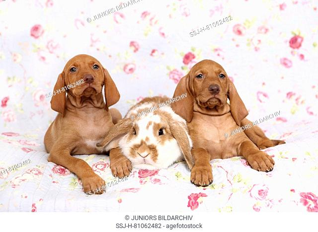Vizsla. Two puppies (6 weeks old) and dwarf lop-eared rabbit lying on a blue blanket with rose flower print. Germany