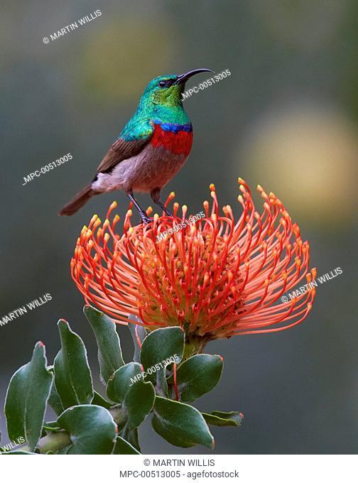 Southern Double-collared Sunbird (Cinnyris chalybeus) on Rocket Pincushion (Leucospermum reflexum) flower, Kirstenbosch Garden, Cape Town, South Africa