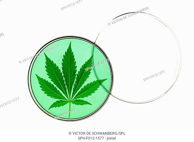 Cannabis leaf in a petri dish