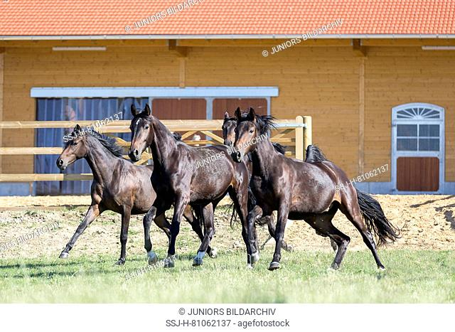 Bavarian Warmblood. Juvenile mares galloping in front of a stable. Germany