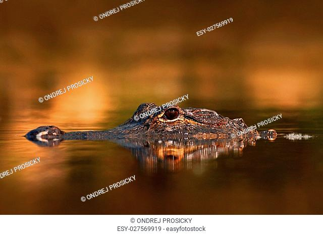 American Alligator, Alligator mississippiensis, NP Everglades, Florida, USA