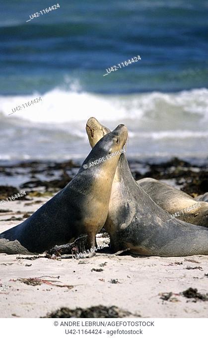 Australian sea-lions on beach at Kangaroo Islandin South Australia