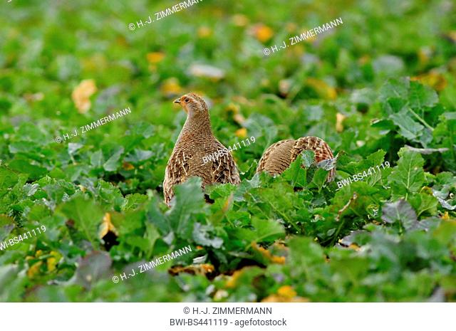 grey partridge (Perdix perdix), two partriges on a field, Germany, Rhineland-Palatinate