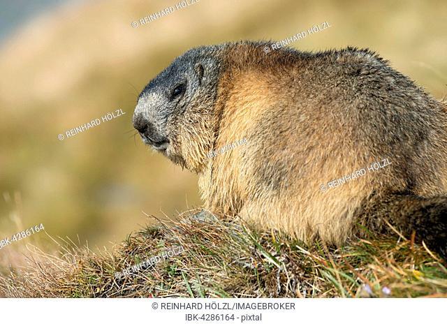 Alpine marmot (Marmota marmota), Kaiser-Franz-Josefs-Höhe, High Tauern National Park, Carinthia, Austria