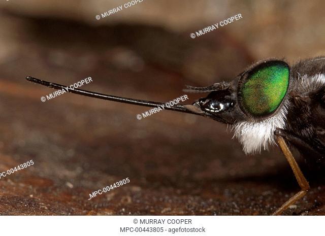 Horse Fly (Tabanidae) with extremely long proboscis, Amazon, Ecuador