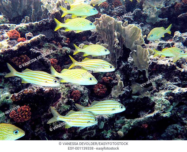 School tropical fishes named 'grunts' in Bonaire, Caribbean sea