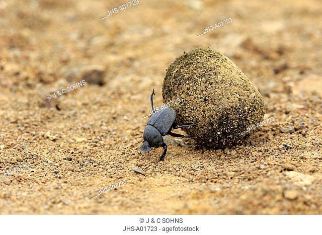 Dung Beetle, (Scarabaeus sacer), adult rolls elephant dung for egg deposition, Isimangaliso Wetland Park, Kwazulu Natal, South Africa, Africa