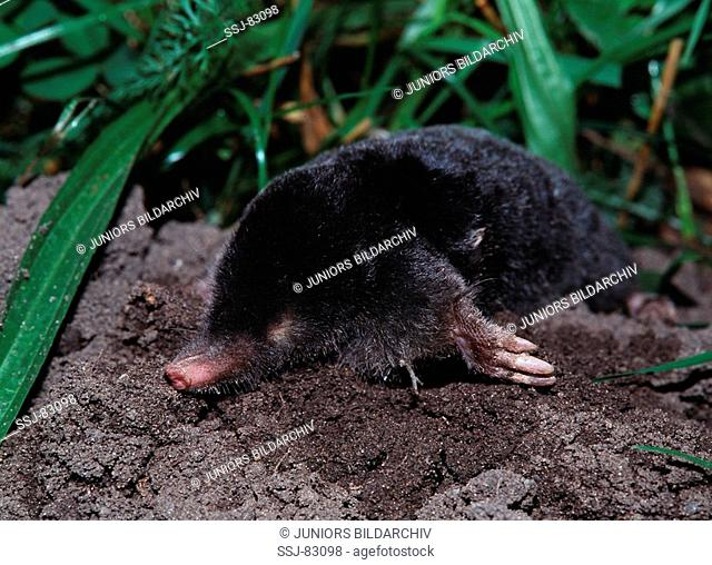 talpa europaea / European mole