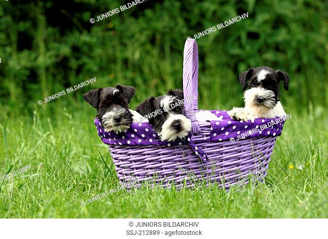 Miniature Schnauzer. Three puppies (6 weeks old) sitting in a purple shopping basket on a meadow. Germany