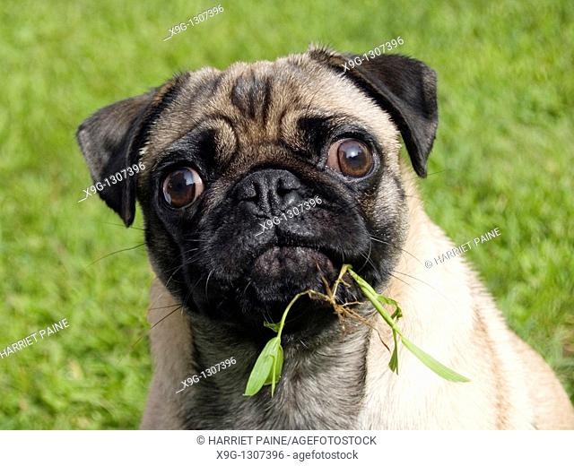Pug: breed of dog
