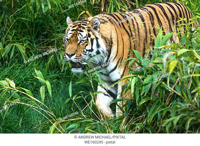 Bengal Tiger walking through vegetation