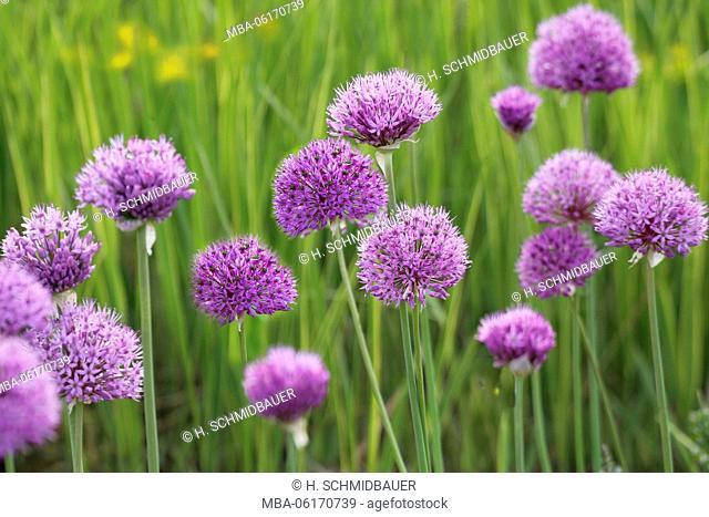 Allium, flower, Allium ampeloprasum