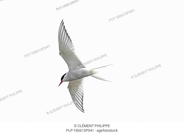 Arctic tern (Sterna paradisaea) in flight against white background, cutout / cut-out