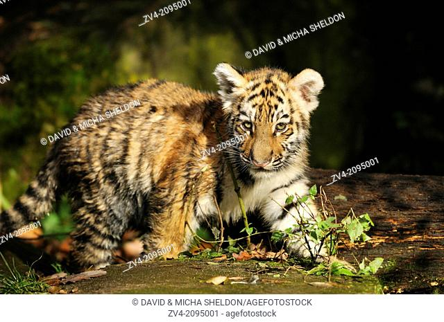 Close-up of a Siberian tiger or Amur tiger (Panthera tigris altaica) cub
