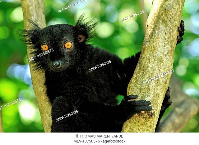 Black Lemur - male (Eulemur macaco macaco)