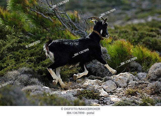 Wild goat, island of Karpathos, Aegean Islands, Dodecanese, Aegean Sea, Greece, Europe