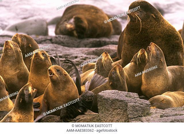 N. Fur Seal Harem (Callorhinus ursinus), St. Paul Is., Pribilofs, AK Alaska