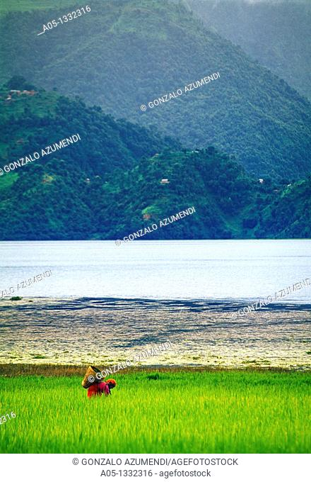Phewa lake  Pokhara valley  Rice field  Nepal