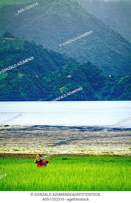 Phewa lake  Pokhara valley  Rice field  Nepal