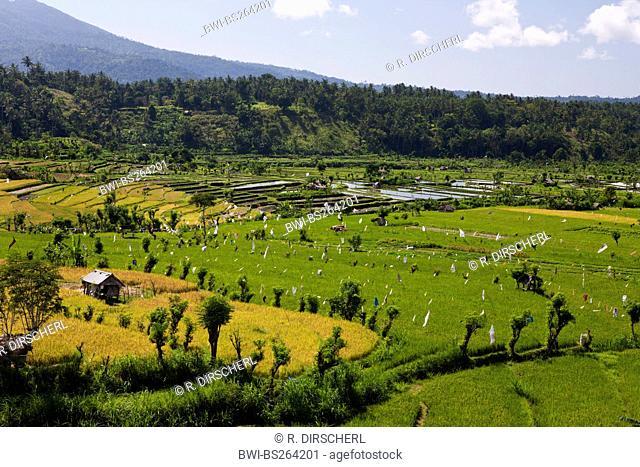 common rice (Oryza sativa), Ricefields on Bali, Indonesia, Bali