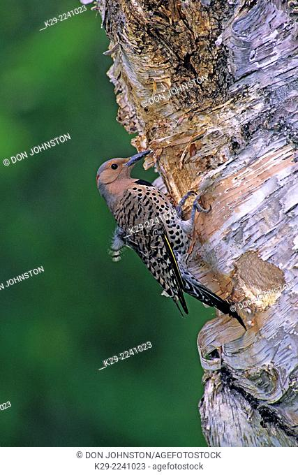 Northern flicker (Colaptes auratus) at nest cavity, Greater Sudbury, Canada